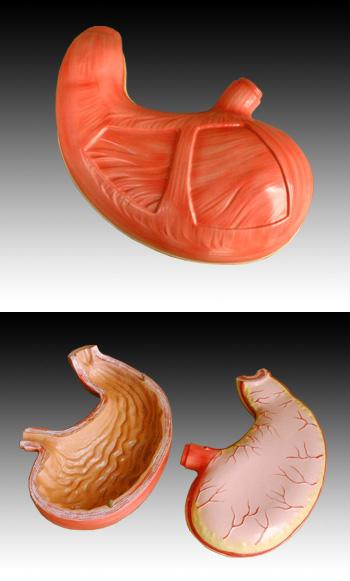 胃解剖模型