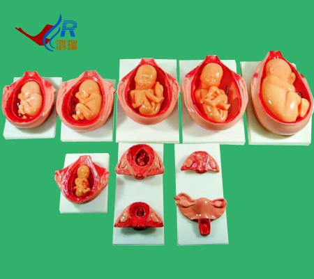 供应胎儿妊娠发育过程,医学教学模型图片